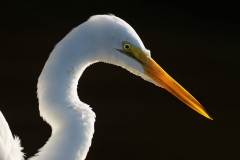 "Great Egret, Jackie Bailey Labovitz, Photograph on canvas 16"" x 20"""
