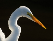 Great Egret 2, Jackie Bailey Labovitz