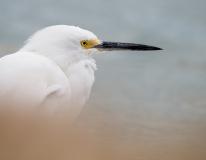 Snowy Egret, Jackie Bailey Labovitz