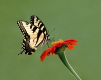 Tiger Swallowtail 2, Jackie Bailey Labovitz