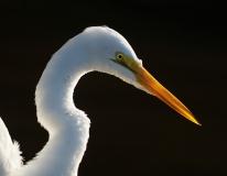 Great Egret 2, Jackie Bailey Labovitz
