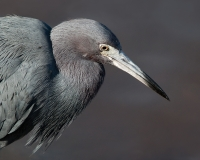 Little Blue Heron, Jackie Bailey Labovitz