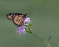 Monarch, Jackie Bailey Labovitz