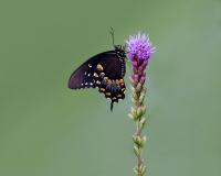Spicebush Swallowtail, Jackie Bailey Labovitz