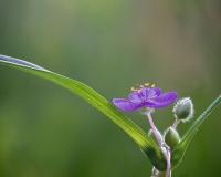 Spiderwort, Jackie Bailey Labovitz