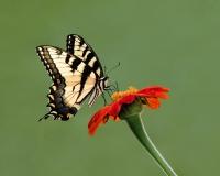 Tiger Swallowtail 2, Jackie Bailey Labovitz