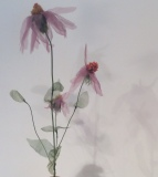 Echinacea, Donna La Pré