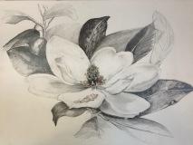 Magnolia, Margaret Rogers, Graphite Drawing