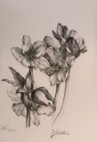 Hellebore, Margaret Rogers, Graphite Illustration