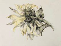Sunflower Illustration, Margaret Rogers