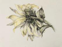Sunflower Illustration, Margaret Rogers