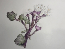 Spring Cress, Margaret Rogers, Colored Pencil