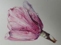 Tulip Tree, Margaret Rogers, Colored Pencil
